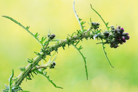 Thistle closeup with very sharp thorns and lilac flowers photo