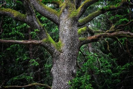 スウェーデンの深い暗い森で雄大な古い樫の木の詳細