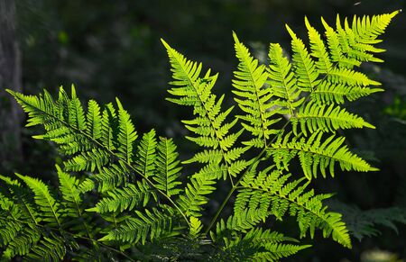polypodiopsida: Fresh green fern leaves in eveninglight