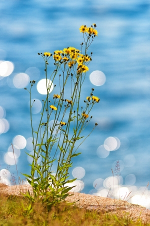 Yellow daisy at seashore a sunny day, water in background photo