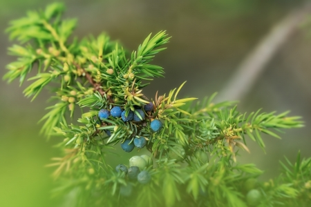essences: Juniper with blue berries closeup on a summer day Stock Photo