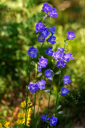 A cluster of big Bluebell or Campanula persicifolia, Sweden photo
