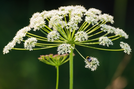 Cow parsley flower  Anthriscus sylvestris  with a Bumblebee pollenating