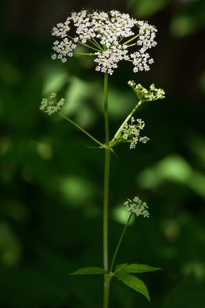 Lonely Cow parsley flower (Anthriscus sylvestris) on green background