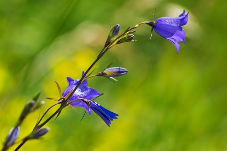 bluebell: Big Bluebell or Campanula persicifolia blowing in the wind, Sweden