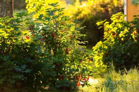 Redcurrant bush backlit during a summerday in a backyard - Ribes Rubrum Stock Photo