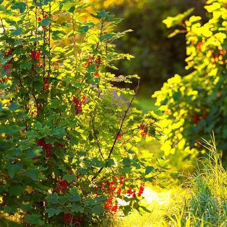 ribes: Backlit Redcurrant bush during a summerday - Ribes Rubrum Stock Photo