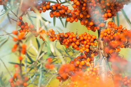A stem with clusters of orange sea buckthorn
