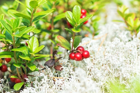 Lingonberries  cowberry  in white moss during autumn