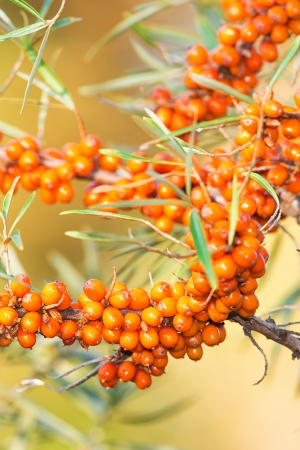 Packed with sea buckthorn berries on a branch photo
