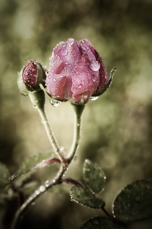 Two pink roses in morning dew with shallow depth of field