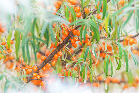 Branch of Sea Buckthorn during late autumn