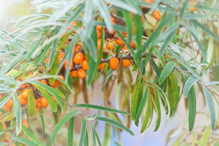 Sea Buckthorn during a cold morning in late autumn photo