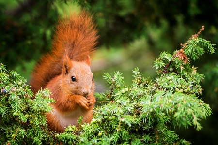 Red squirrel in juniper tree and is eating berrys with its paws photo