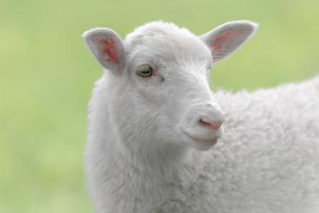 緑の牧草地環境側に見ての白い羊
