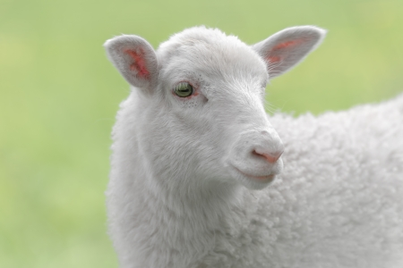 White lamb looking to the side in a green pasture enviroment