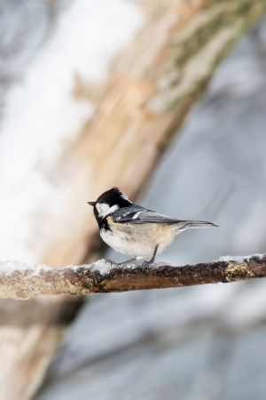 Coal tit on a icy twig during winter photo