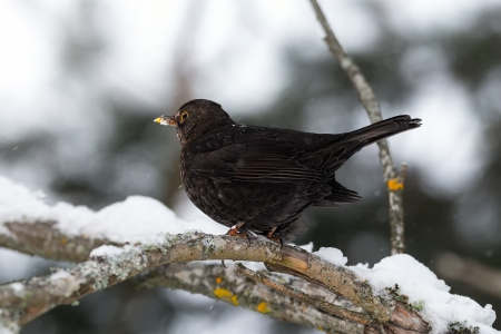 Common Blackbird in a winter setting photo