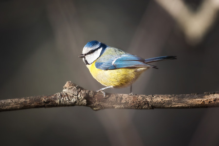 cyanistes: Bluetit  Parus caeruleus  perched on a branch ready to fly Stock Photo