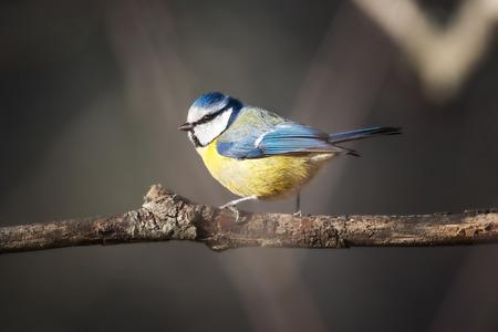 caeruleus: Caeruleus Herrerillo Parus posado en una rama listo para volar