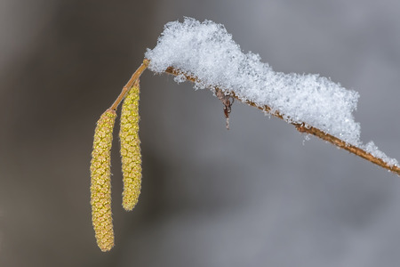 hazel branches: Hazel branches with catkins covered by snow, highly allergenic pollen Stock Photo