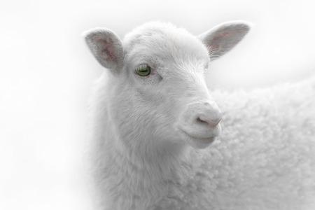 緑の牧草地の環境で側にいる白い羊