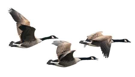 birds eye: Canada Goose flying in group isolated on white