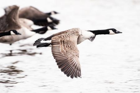 Group of Canada Goose flying over water, high contrast photo
