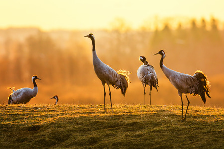 Common crane, Grus grus, group of birds in early morning, Sweden