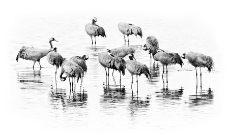 Cranes in a group getting ready for night in black and white with reflections, graphical shot on white photo