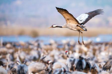 Incoming Common Crane  Grus grus  at Hornborgarsjon, Sweden Standard-Bild