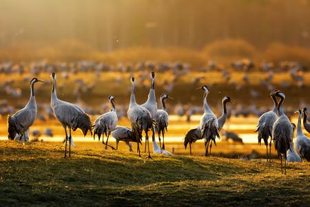 Oiseaux de grue (Grus grus) dans la lumière du matin pendant un lever de soleil de printemps à Hornborgarsjon, Suède