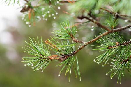 Pinetree with raindrops on the needles on rainy day