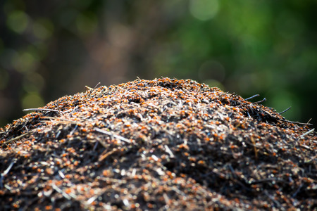 Anthill in forest, short depth of field on top photo