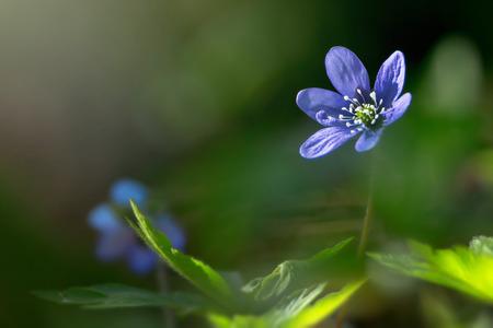 hepatica nobilis: Blue springflower or Hepatica nobilis soaking for sunlight, Sweden