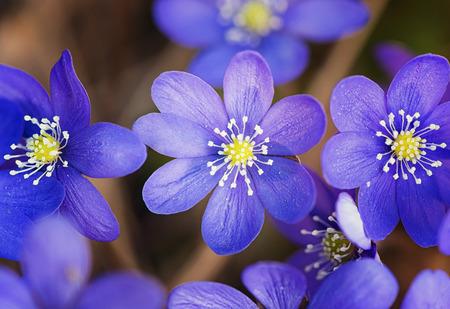 hepatica nobilis: Blooming in the spring forest Hepatica nobilis closeup, Sweden