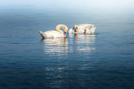 hygien: Swan birds fixing their feathers and hygien during an afternoon at sea in Sweden