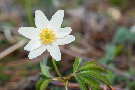 Closeup of a Wood anemone  Anemone nemorosa  in nature  photo
