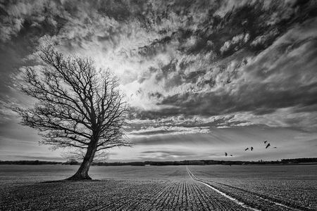 Oak tree on crop field with incoming crane birds  Black and white manipulated landscape  photo
