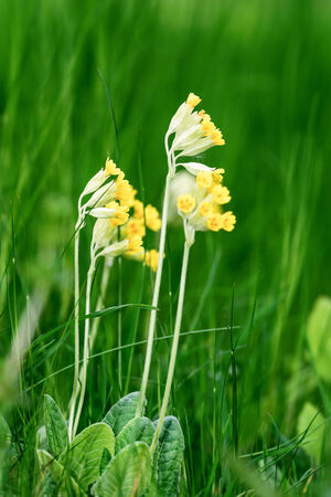 cowslip: Primula veris in high grass during early summer, Sweden