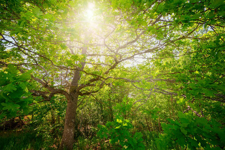 Oak tree with sunlight thru the greean foliage and leafs, wideangle image photo