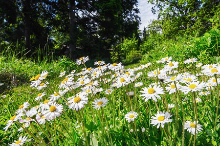 Wide angle evening shoot of spring daisy flower field, Sweden during summer photo