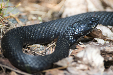 Grass snake or Natrix natrix in a unusual black skin without the yellow band at the neck.