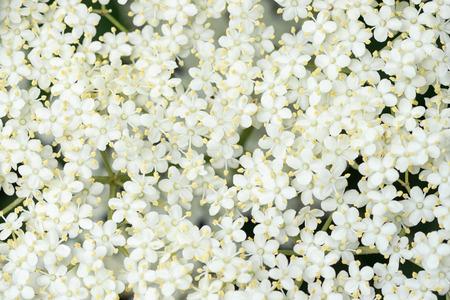 短い被写し界深度とエルダーの花 (セイヨウニワトコ) の詳細