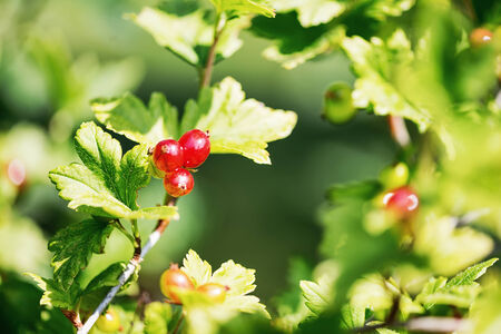 ribes: Alpine currant or Ribes alpinum during summer in sweden Stock Photo