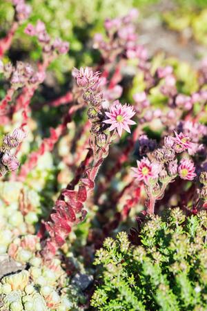 Common houseleek or Sempervivum tectorum in a sunlit garden, sweden