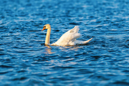 Mute swan in evening sun with reflections in water