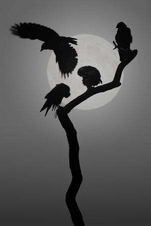 Group of Jackdaw birds silhouette with the moon behind, composite BW photo