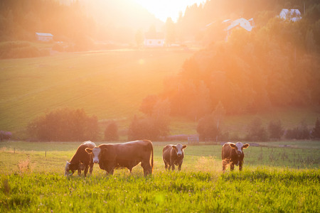 granja: El pastoreo de ganado durante la puesta de sol en un id�lico valle, suecia