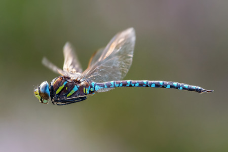 Closeup of a colorful dragonfly in flight, Sweden